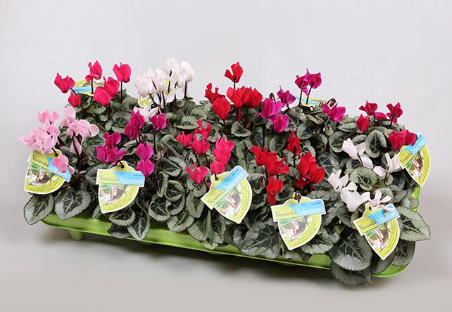 Cyclamen Veranda Selection bij Plantenkwekerij P. Mostert