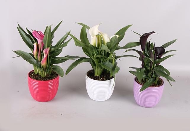 Zantedeschia's in keramiek bij Plantenkwekerij P. Mostert. Duurzaam ondernemen
