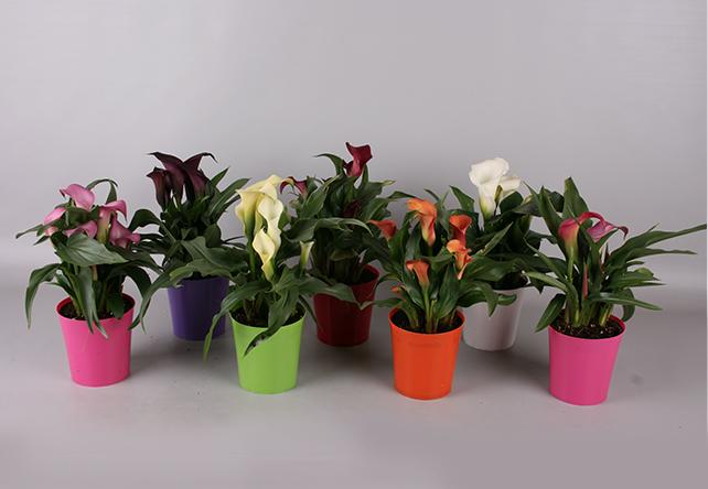 Zantedeschia's in Plastic bij Plantenkwekerij P. Mostert. Duurzaam ondernemen