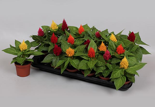 Celosia Plantenkwekerij P. Mostert, Duurzaam telen