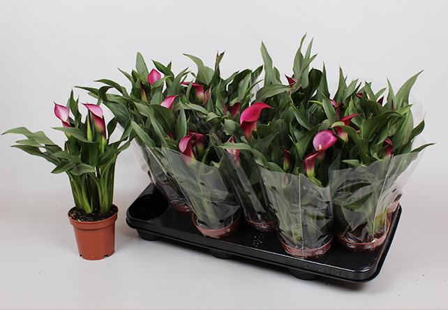 Zantedeschia Callafornia Red - Rood