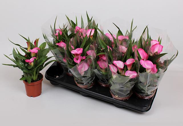 Zantedeschia Garnet Glow - Roze
