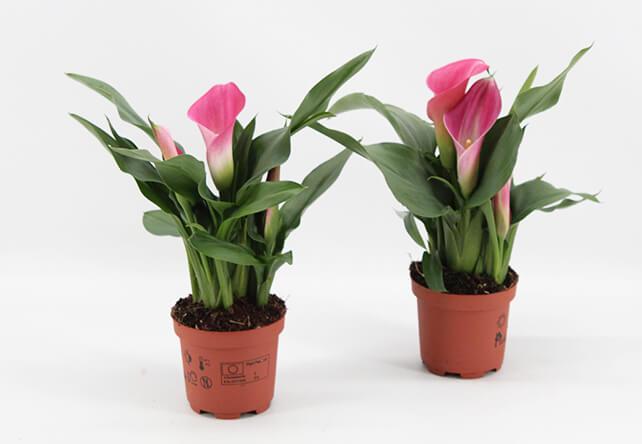 Zantedeschia Garnet, potmaat 0, plant, plantenkwerkij mostert