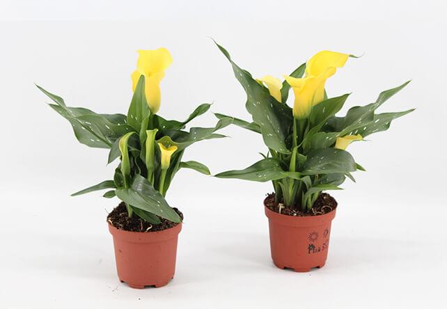Zantedeschia Sunclub, potmaat 9, plantenkwekerij p. mostert